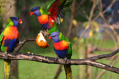 Colorful birds fighting for food