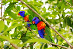 Colorful birds in green leaves. Colorful Rainbow Lorikeet birds in between bright green leaves - Australian wildlife in parks in Sydney Royalty Free Stock Photos