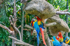 Colorful birds. Group of colorful Macaws parrots Stock Images