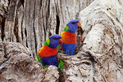 Colorful birds in colorless tree. The contrast of the nature: Colorful Rainbow Lorikeet birds sitting in a pale tree - Australian wildlife in a park of Sydney Royalty Free Stock Images