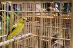 Colorful birds for sale at the bird market in Yogyakarta, Java, Indonesia. Royalty Free Stock Photography
