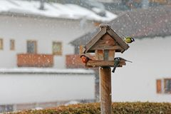 Colorful birds during the snowstorm Stock Photos