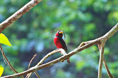Colorful of black and red bird Royalty Free Stock Photos