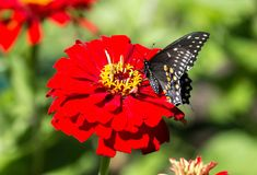 Black Swallowtail Butterfly Papilio polyxenes on red flower. A colorful black swallowtail butterfly perching pollinating a red Zinnia flower in Quebec garden in Royalty Free Stock Image
