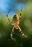 Colorful black and yellow wasp spider Argiope bruennichi. Waiting on the web. Dorsal side view Stock Image