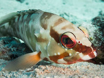 Colorful blacktip grouper Stock Photos