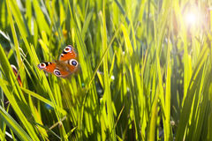 Colorful blades of grass and flying butterfly. Background Stock Photography