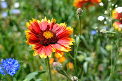 Colorful BlanketFlower in Full Bloom Royalty Free Stock Photography