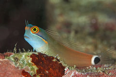 Colorful blenny fish. Blenny fish, ecsenius yaeyamensis, lives amongst sandy bottom and coral reefs stock image