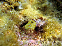 Colorful blenny head. Sphinx blenny fish, Aidablennius sphynx, hidden in a hole, Vermilion Coast, Mediterranean sea, France royalty free stock photo