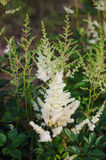 Colorful blooming astilbe Royalty Free Stock Photography