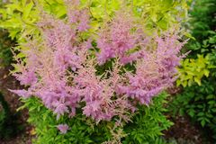 Colorful blooming astilbe in summer garden in mixed border Royalty Free Stock Photo