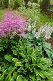 Colorful blooming astilbe in summer garden in mixed border with hostas and cornus. Shrubs Stock Image