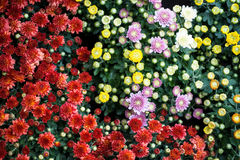 Colorful blooming Chrysanthemums with green leaves background. Red, yellow, purple and white blooming Chrysanthemums with green leaves background Stock Images