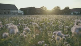 Colorful blooming field in the sunset stock video footage