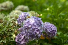 Blooming Hydrangea Plant in Springtime royalty free stock image