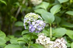 Blooming Hydrangea Plant in Springtime royalty free stock photos