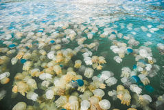 Colorful blooming jellyfish Royalty Free Stock Image