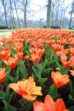 Colorful blooming orange tulip flower background. The image of the full blooming tulip flower in the garden at spring time Royalty Free Stock Photos