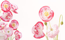 Colorful blooming poppies. Collage of blooming poppies on a white background Stock Images