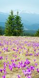 Purple Crocus flowers on spring mountain Stock Images