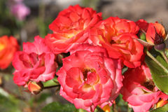 Colorful blooming roses Royalty Free Stock Photo