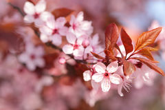 Colorful blooming tree in springtime Royalty Free Stock Image