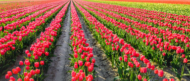 Colorful blooming tulip bulbs on the field Royalty Free Stock Photo
