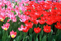 Colorful blooming tulip flower background. The image of the full blooming tulip flower in the garden at spring time Royalty Free Stock Photography