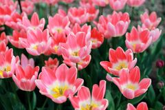 Colorful blooming tulip flower background. The image of the full blooming tulip flower in the garden at spring time Stock Photo