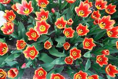 Colorful blooming tulip flower background. The image of the full blooming tulip flower in the garden at spring time Stock Photography