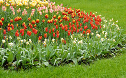 Colorful blooming tulips Stock Images