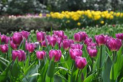 Colorful blooming tulips in the Spring garden stock image
