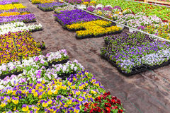 Colorful blooming violas in a greenhouse Stock Image