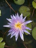 Colorful blooming violet and yellow water lily flower in lotus pond. Royalty Free Stock Image