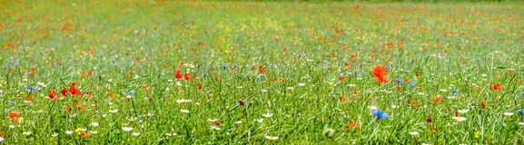 Colorful blooming wild flowers on the meadow at spring time. Colorful blooming wild flowers on the idyllic meadow at spring time in the sunshine royalty free stock images