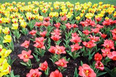 Colorful blooming yellow and red tulip flower background. The image of the full blooming tulip flower in the garden at spring time Stock Photo