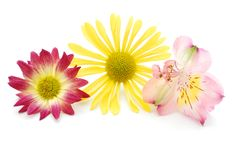 Colorful blooms. Decorative with the colorful 'teamwork' flowers Stock Photos