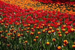 Colorful blossing tulips in public park Royalty Free Stock Photos