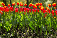 Colorful blossing tulips in public park Royalty Free Stock Image