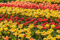 Colorful Blossom Tulips and narcissus for background Keukenhof Royalty Free Stock Photos