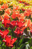 Colorful Blossom Tulips and narcissus for background,Keukenhof Royalty Free Stock Images