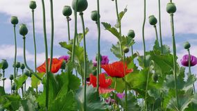 Colorful poppy blossoming against blue sky, plant breeding. Colorful blossoming purple, red poppies with unripe seed heads under blue sky, beautiful grassland stock video