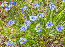 Colorful Blue-Eyed Grass. Sisyrinchium montanum, in its natural environment Stock Photography