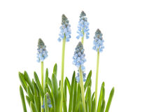 Colorful blue grape hyacinths Stock Photos