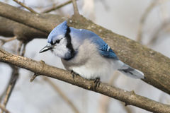 Colorful Blue Jay bird perched on a tree branch Royalty Free Stock Image