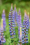Colorful blue Lupin Stock Image