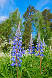 Colorful blue Lupin Stock Images