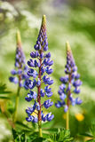 Colorful blue Lupin Royalty Free Stock Photos