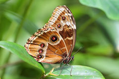 Colorful Blue Morpho butterfly stock photography